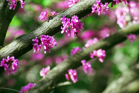 redbud tree: Cercis canadensis (eastern redbud) tree at spring with pink flowers Stock Photo