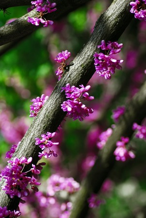 flowering plant: Cercis canadensis (eastern redbud) tree at spring with pink flowers Stock Photo