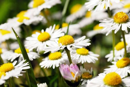 flowerhead: several blooming white daisies on the green meadow at spring