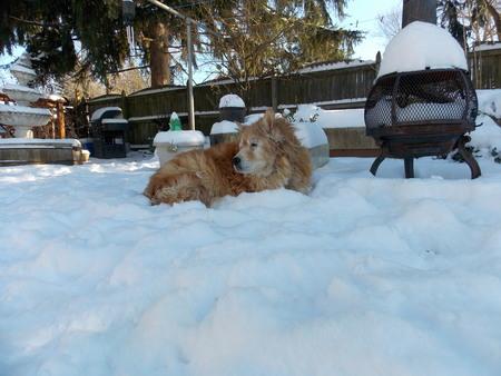 雪犬 写真素材