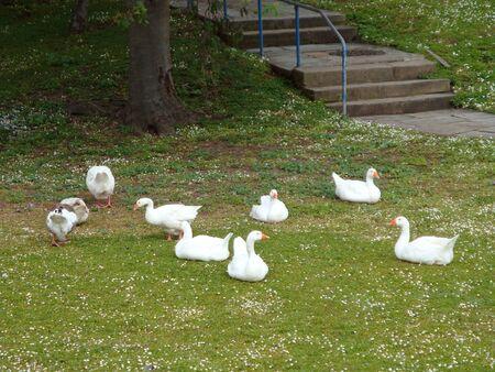 huddling: ducks and goose resting on grass  Stock Photo