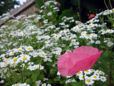 poppy flower on daisy flowerbed