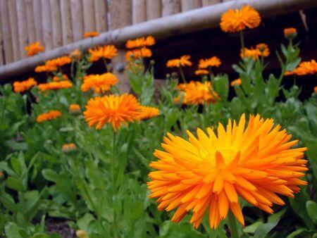 orange flower flowerbed Stock Photo