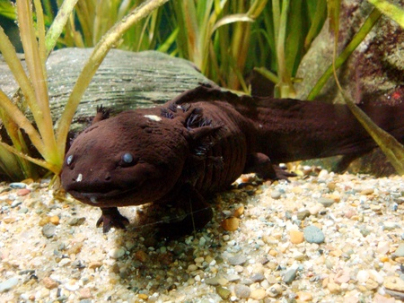 salamander in aquarium