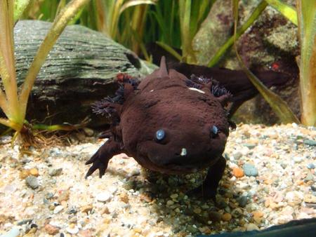 salamander in aquarium