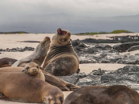 beached: Group of beached sea lions amongst black lava rock and against a cloudy dark sky. One lion has its mouth wide open in a roar. Stock Photo