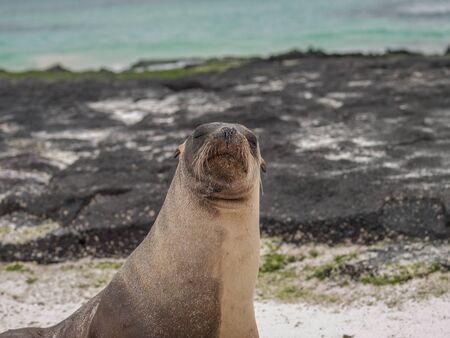 snoot: Single sea lion with its nose up in the air, green water and black lava rock in the background in Galapagos Islands, Ecuador.