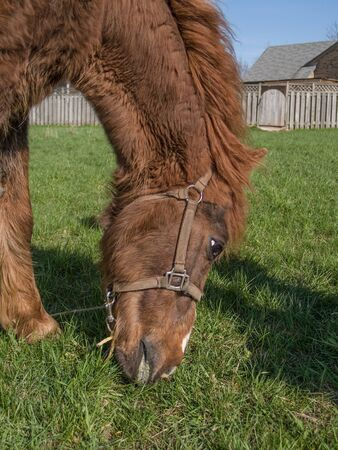 fenced in: Close up of reddish brown horse head feeding on green grass in a fenced in area.