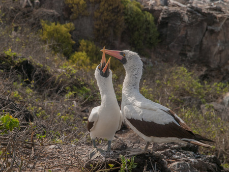 boobies: Pair of Blue Footed Boobies with orange beaks perched on rocks squawking in Galapagos Islands, Ecuador.