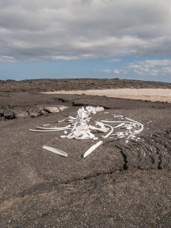 dead: Whale skeleton on black lava rock with blue sky and clouds in Galapagos Islands, Ecuador.
