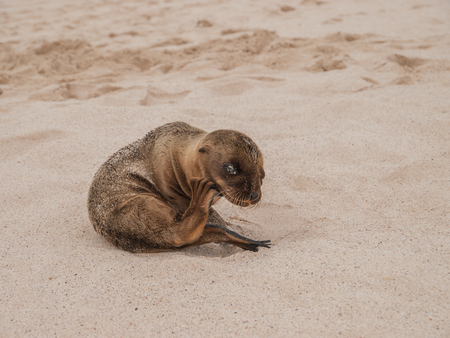 sitting up: Baby sea lion sitting up on a sandy beach in the Galapagos Islands, Ecuador.