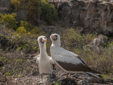 boobies: Pair of Blue Footed Boobies with orange beaks perched on rocks squawking in Galapagos Islands, Ecuador. One of the birds holds a twig in its beak. Stock Photo