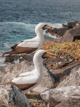 beaks: Two Blue Footed Boobies with orange beaks standing on a rock ledge by the ocean in Galapagos Islands, Ecuador.