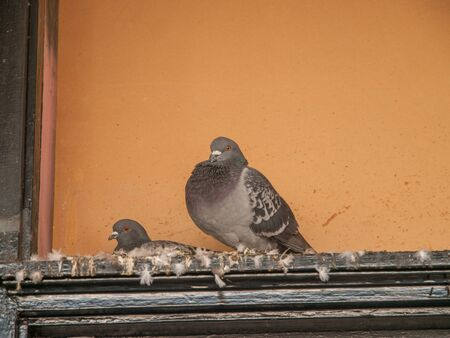 shit: Two pigeons above a door frame against a peach coloured background sitting in a mess of feathers and feces. One is sitting down, one is standing. In Los Angeles, California, USA.