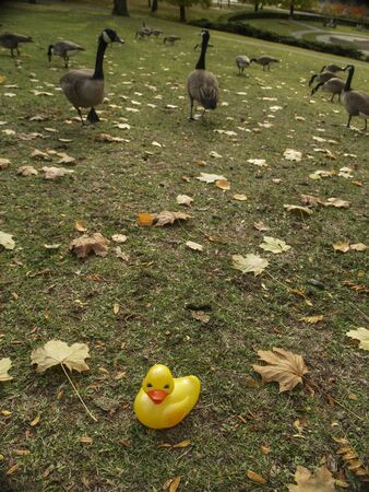 Yellow rubber duck apart from Canada geese feeding on grass at High Park in Toronto Ontario Canada.