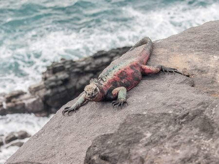 Red and green iguana sunbathing on black lava rock overlooking crashing waves in the ocean in Galapagos Islands Ecuador.