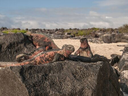 cold blooded: Group of four red and green iguanas atop black lava rock in Galapagos Islands, Ecuador.