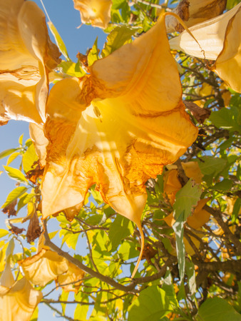 Yellow and brown decaying angels trumpet flower hanging from stock stock photo yellow and brown decaying angels trumpet flower hanging from tree against blue sky with sunlight coming through petals mightylinksfo