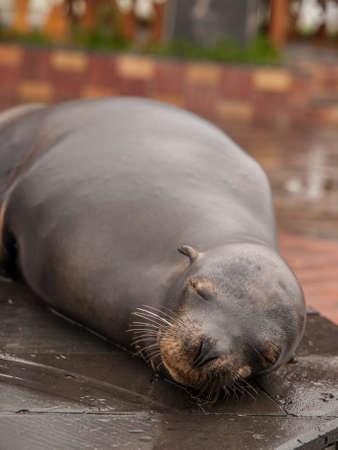 cristobal: Sleeping wet large sea lion on tiles in port on San Cristobal, Galapagos Islands, Ecuador.