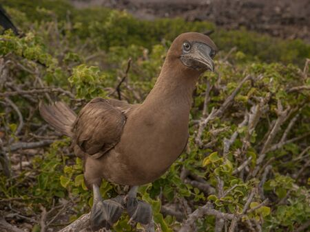 booby: Brown booby perched on tree branch on a cloudy day in Galapagos Islands, Ecuador. Stock Photo