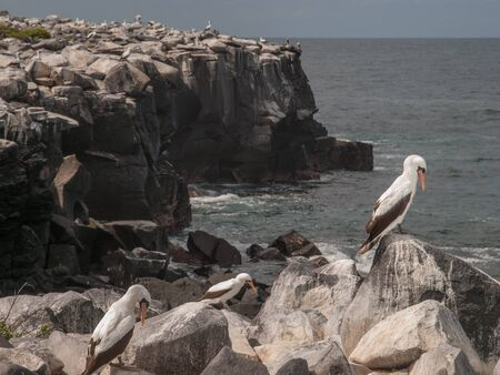 boobies: Large group of Blue Footed Boobies on a rocky cliff side by the ocean in Galapagos Islands, Ecuador. Stock Photo