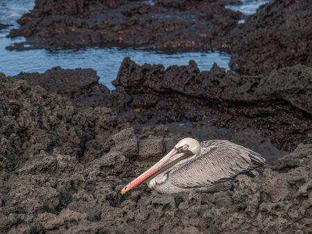 seated: Pelican seated on black lava rock by the sea in Galapagos Islands, Ecuador.