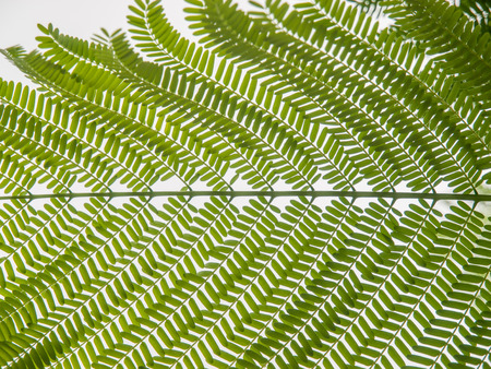 fern  large fern: Large green fern branch against white background in Galapagos Islands, Ecuador. Stock Photo