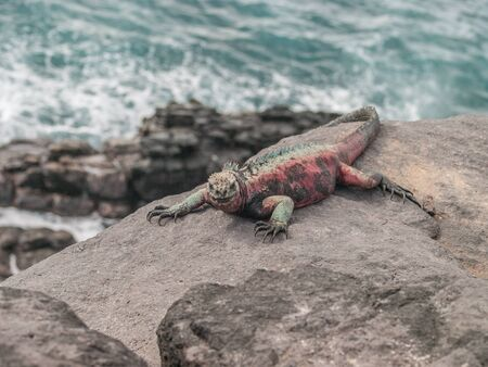 sprawled: Red and green iguana sunbathing on black lava rock overlooking crashing waves in the ocean in Galapagos Islands Ecuador.