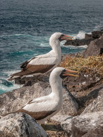boobies: Two Blue Footed Boobies with orange beaks standing on a rock ledge by the ocean in Galapagos Islands, Ecuador.