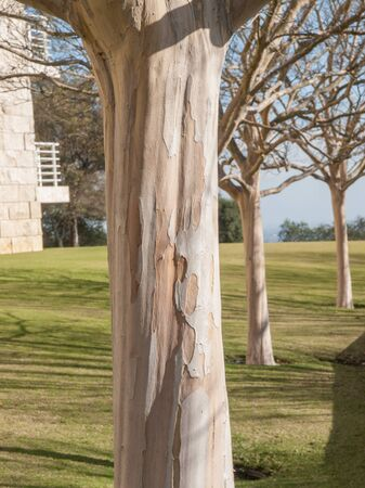 bark peeling from tree: Three bare white and beige young sycamore trees lined  Stock Photo