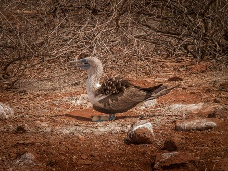 boobie: Blue footed booby standing over two eggs and squawking on orange gravel in Galapagos Islands, Ecuador. Stock Photo