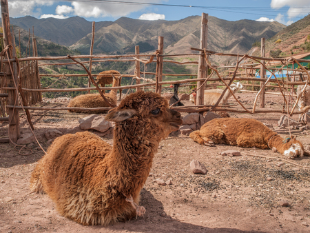 tethered: Brown alpaca tethered to wooden fence at farm with mountains in the background in Peru, South America.