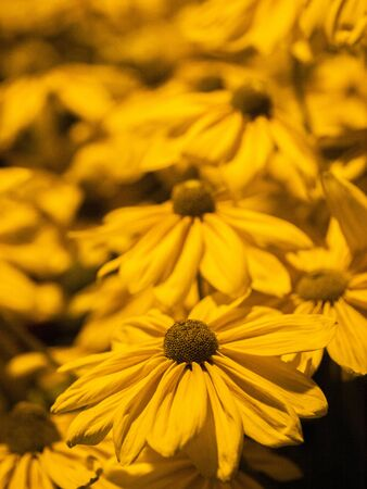 coneflowers: Patch of yellow coneflowers lit in the evening by a streetlight.