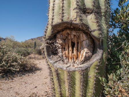 cholla cactus: Cholla cactus with gun shot wound showing skeleton of cactus in Tonto National Forest, Arizona, USA.