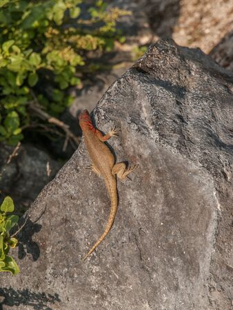 Aerial shot of red and green lizard sprawled out on large flat rock in Galapagos Islands, Ecuador.
