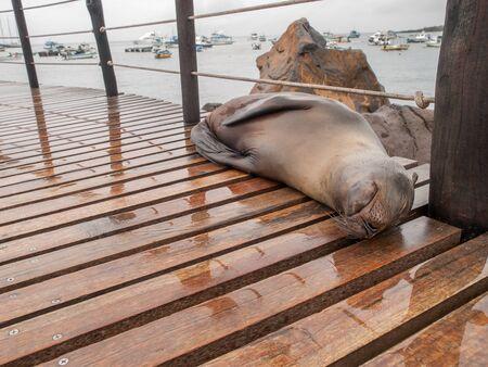 cristobal: Sleeping wet large sea lion on wood planks in port on San Cristobal, Galapagos Islands, Ecuador.