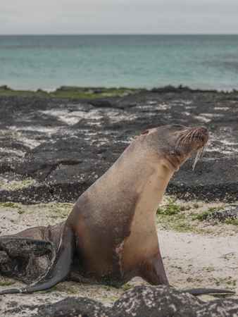 snob: Single sea lion with its nose up in the air, green water and black lava rock in the background in Galapagos Islands, Ecuador.