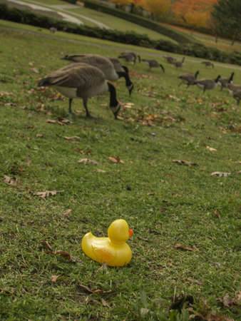high park: Yellow rubber duck staring out at Canada Geese feeding on grass at High Park Toronto Ontario Canada.