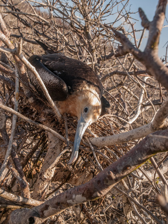 frigate: Brown frigate bird with yellow head sitting in a nest in a tree in Galapagos Islands, Ecuador. Stock Photo
