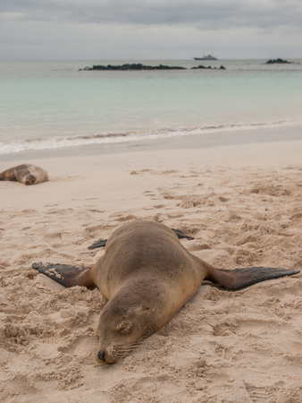 sprawled: Sleeping sea lion on beach with fins sprawled out, ocean and cloudy sky and yacht in the background.