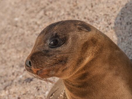 eyes wide: Baby sea lion with black eyes wide open sitting up and staring up on a sandy beach in the Galapagos Islands, Ecuador.