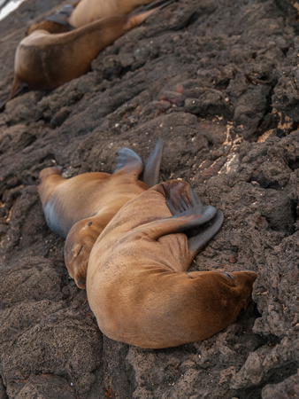 lions rock: Two cuddling sea lions sleeping together on black lava rock in Galapagos Islands, Ecuador.