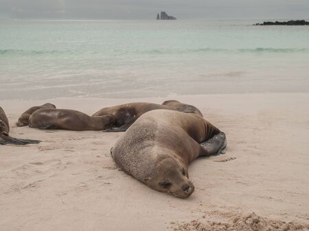 kicker: Sleeping sea lions on beach with green ocean, cloudy sky and Kicker Rock in the background. Editorial