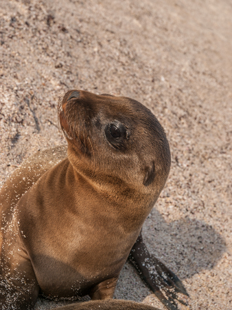 eyes wide open: Baby sea lion with black eyes wide open sitting up and staring up on a sandy beach in the Galapagos Islands, Ecuador.