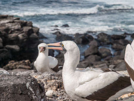 boobies: Two and a half Blue Footed Boobies with orange beaks standing on the shore of the ocean in Galapagos Islands, Ecuador.