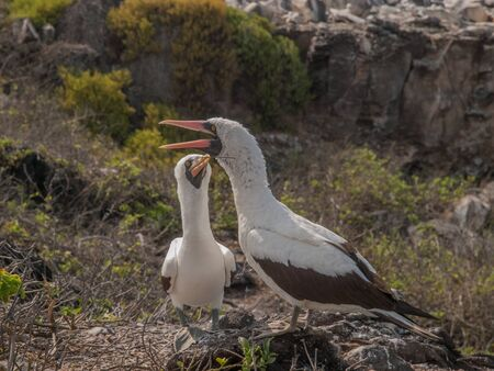 beaks: Pair of Blue Footed Boobies with orange beaks perched on rocks squawking in Galapagos Islands, Ecuador. One of the birds holds a twig in its beak. Stock Photo