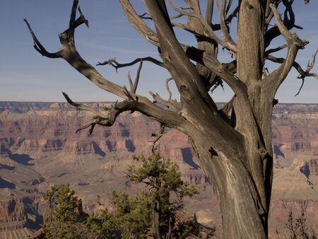 gnarled: Gnarled tree in front of Grand Canyon, South Rim, Arizona, USA. Stock Photo
