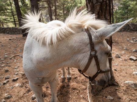 tethered: White horse tethered to tree on hiking path through Samarian Gorge, Crete, Greece, Europe.