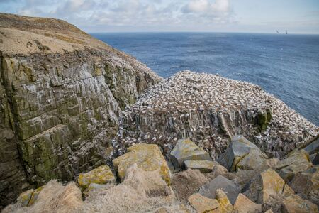 Gannet colony on a cliffside by the sea at Cape St. Marys Ecological Reserve in Newfoundland, Canada. Large boulders covered in yellow and green moss in the forefront. Stock Photo