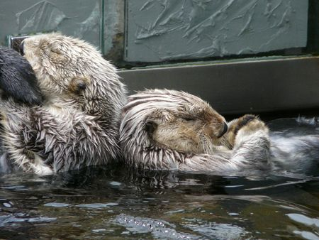 sea otter:  Two Sea otter grooming themselfs.